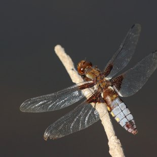 Broad-bodied Chaser ♀ (2013)