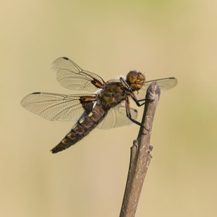Broad-bodied Chaser ♀ (2014)