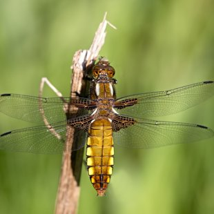 Broad-bodied Chaser ♀ (2017)