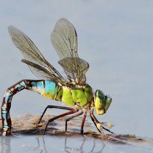 Emperor Dragonfly ♀ (2013)