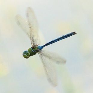 Emperor Dragonfly ♂ (2013)