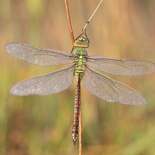 Emperor Dragonfly ♀ (2017)