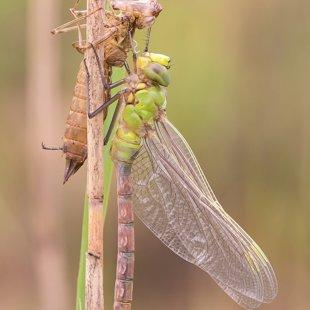 Emperor Dragonfly ♂ (2016)