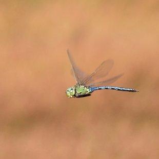 Emperor Dragonfly ♂ (2015)