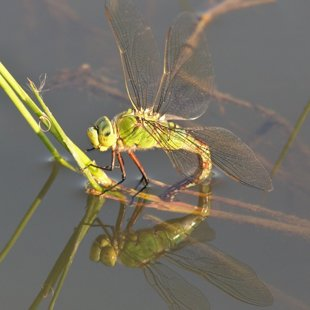 Emperor Dragonfly ♀ (2014)
