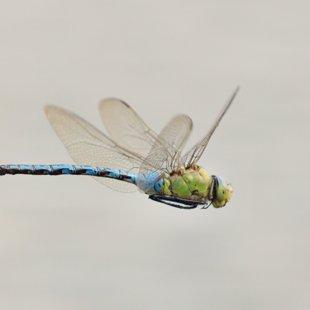 Emperor Dragonfly ♂ (2014)