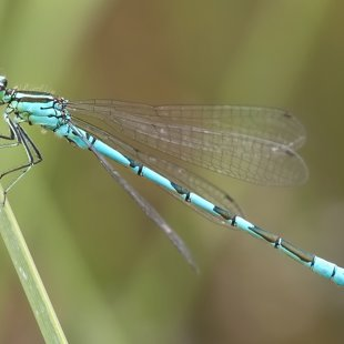 Northern Damselfly ♂ (2016)