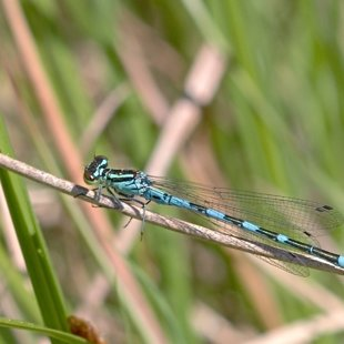 Northern Damselfly ♂ (2017)