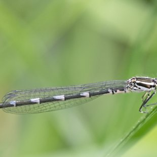 Azure Damselfly ♀ - blue form (2015)