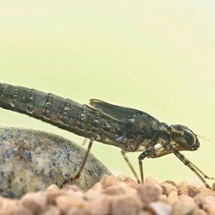 Southern Hawker - larva (2015)