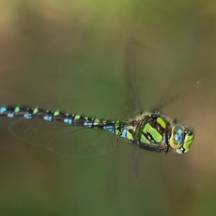 Southern Hawker ♂ (2013)