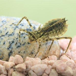 Lesklice měděná - larva (2015)