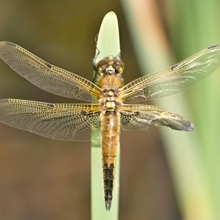 Four-spotted Chaser ♀ (2013)