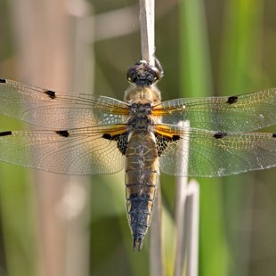 Four-spotted Chaser ♀ (2014)