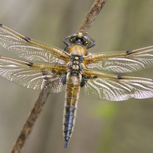 Four-spotted Chaser ♂ (2017)