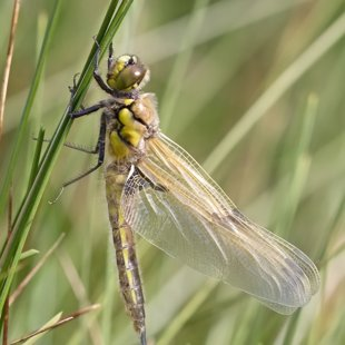 Four-spotted Chaser ♂ (2016)