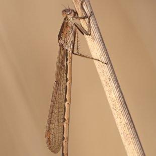 šídlatka kroužkovaná (Sympecma paedisca) ♀