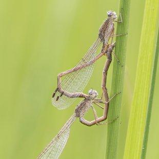 šídlatka kroužkovaná (Sympecma paedisca) ♂ + ♀