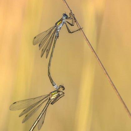 šídlatka páskovaná (Lestes sponsa) ♂ + ♀