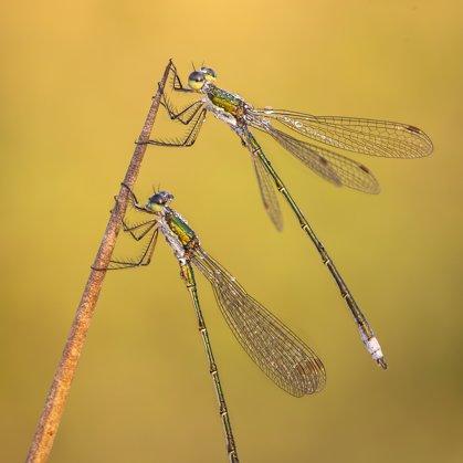šídlatka zelená (Lestes virens) ♂ + ♂