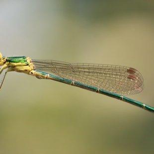 šídlatka zelená (Lestes virens) ♂