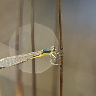 šídlatka zelená (Lestes virens) ♀