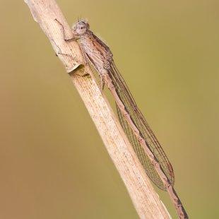 šídlatka kroužkovaná (Sympecma paedisca) ♂