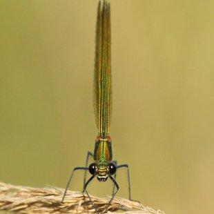 Motýlice lesklá (Calopteryx splendens) ♀