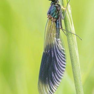 Motýlice lesklá (Calopteryx splendens) ♂