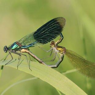Motýlice lesklá (Calopteryx splendens) ♂ + ♀