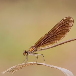 Motýlice obecná (Calopteryx virgo) ♀