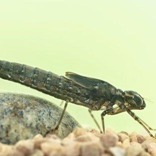 larva - šídlo modré (Aeshna cyanea)