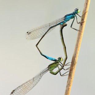 Šidélko větší (Ischnura elegans) ♂ + ♀