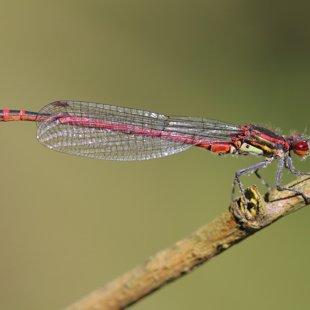 Šidélko ruměnné (Pyrrhosoma nymphula) ♂