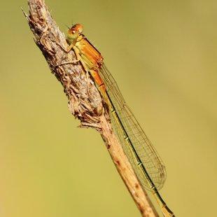 Šidélko malé (Ischnura pumilio) ♀