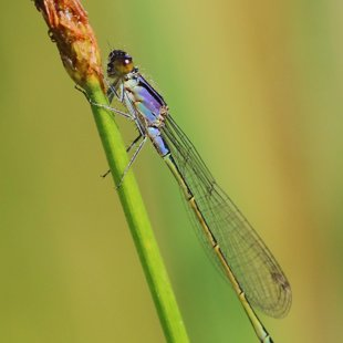Šidélko větší (Ischnura elegans) ♂