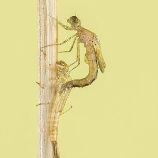 Šidélko páskované (Coenagrion puella) ♂