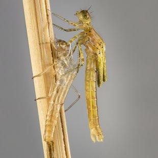 Šidélko páskované (Coenagrion puella) ♀