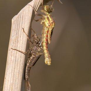 Šidélko ruměnné (Pyrrhosoma nymphula) ♀
