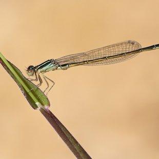 Šidélko malé (Ischnura pumilio) ♂