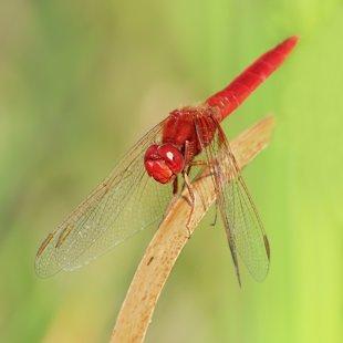 Vážka červená (Crocothemis erythraea) ♂