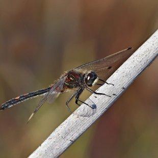 Vážka čárkovaná (Leucorrhinia dubia) ♂