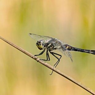 Vážka tmavá (Sympetrum danae) ♂