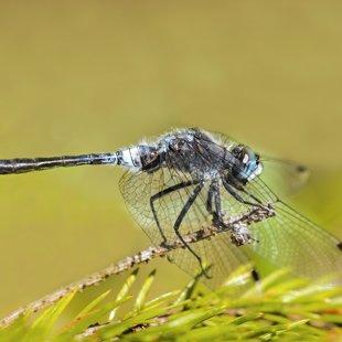 Vážka běloústá (Leucorrhinia albifrons) ♂