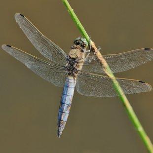 Vážka černořitná (Orthetrum cancellatum) ♂
