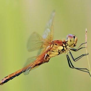 Vážka žlutavá (Sympetrum flaveolum) ♀