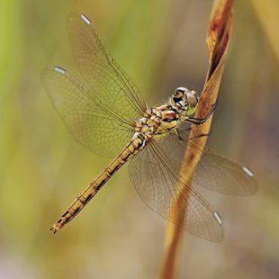 Vážka obecná (Sympetrum vulgatum) ♀