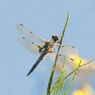 Vážka čtyřskvrnná (Libellula quadrimaculata) ♂