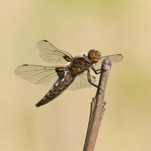 Vážka ploská (Libellula depressa) ♀