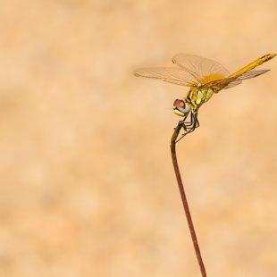 Vážka jarní (Sympetrum fonscolombii) ♂